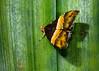 Oxyodes sp01 001 Sentani-Papua 2008-09-2