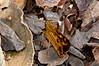 Hesperiidae Okbap-Papua 011 2010-01