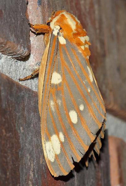 Citheronia regalis (Royal Walnut Moth)