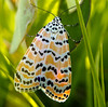 Rattlebox Moth (Utetheisa ornatrix)