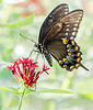 Spicebush Swallowtail (Papilio troilus) on Penta