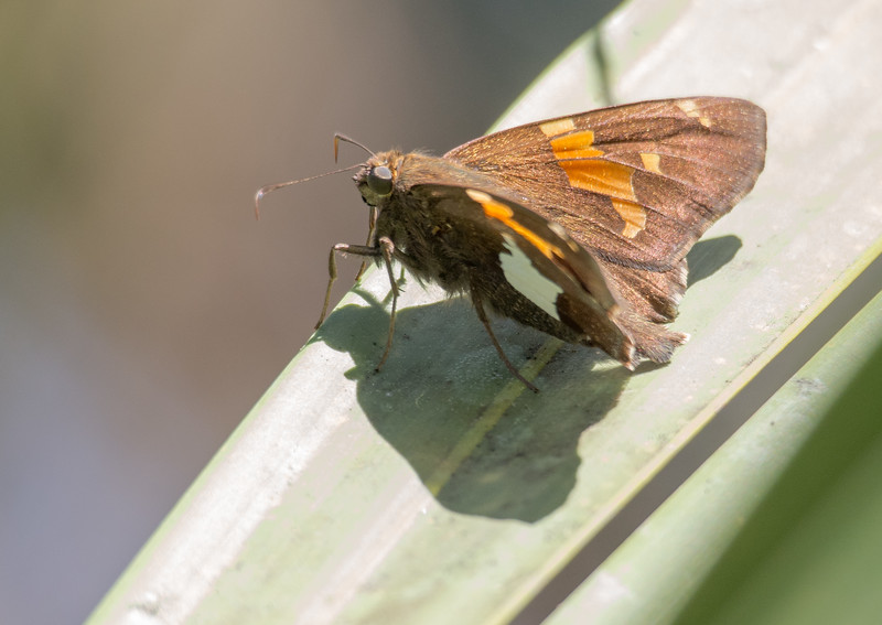 Silver Spotted Skipper (Epargyreus clarus) on palmetto leaf