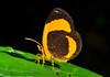 Butterfly-moth of family Callidulidae (Geometroidea), Yapen Island, Papua, January 2009. [Callidulidae sp03 001 YapenIs-Papua 2009-01]