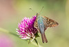Long-tailed Skipper (Urbanus proteus) on Fireworks Gomphrena