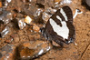 Lepidoptera sp41 001 Okbap-StarMtns-Papua 2010-01