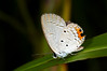 Tailed Cupid Butterfly (Everes lacturnus) on Yapen Island, Papua.