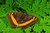 Orange-banded Plane Butterfly (Lexias aeropa), Yapen Island, Papua, 2009.
