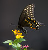 Black Swallowtail Butterfly (Papilio polyxenes) on Lantana