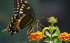 Palamedes Swallowtail (Papilio palamedes) on Lantana