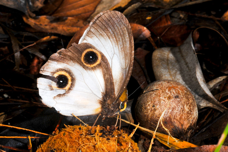 Silky Owl Butterfly (Taenaris catops) at Depapre, Papua, December 2008.