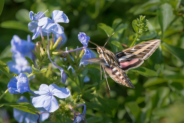 White Lined Sphinx Moth (Hyles lineata) Nectaring on Blue Plumbago