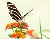Zebra Longwing (Heliconius charithonia)