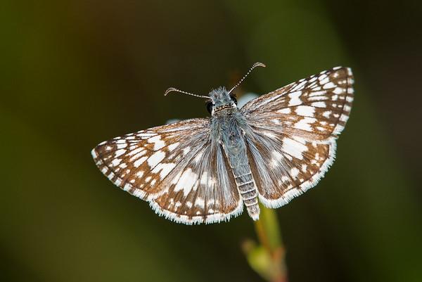 Common Checkered Skipper (Pyrgus communis)