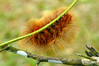 Lepidoptera Anthelidae sp01 001 YapenIs-Papua 2007-07
