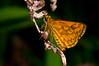 Hesperiidae Okbap-Papua 001 2010-01