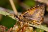 Hesperiidae Okbap-Papua 004 2010-01