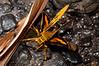 Hesperiidae Okbap-Papua 007 2010-01