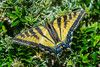 Western Tiger Swallowtail (Papilio rutulus) in Humboldt County, California, USA, July 2014. [Papilio rutulus 004 Humboldt-CA-USA 2014-07]