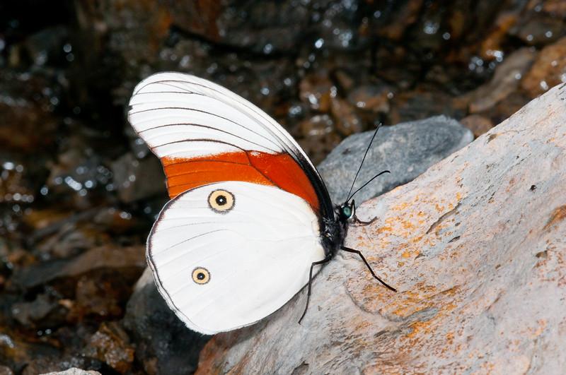 Taenaris schoenbergi 001 Okbap-StarMtns-Papua 2010-01