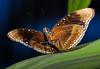Blue-banded Eggfly (Hypolimnas alimena), Sentani, Papua, September 2008.