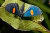 Lepidoptera sp36 001 Okbap-StarMtns-Papua 2010-01