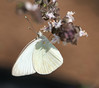 Male Great Southern White (Ascia monuste)