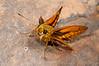 Hesperiidae Okbap-Papua 010 2010-01