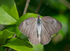 Female Great Southern White (Ascia monuste)