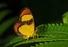 Butterfly-moth of family Callidulidae (Geometroidea), Yapen Island, Papua, October 2008. [Callidulidae sp02 004 YapenIs-Papua 2008-10]