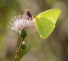 Cloudless Sulphur Butterfly on Flodman's Thistle