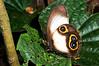 Two-ocellied Owl Butterfly (Taenaris bioculatus), Yapen Island, Papua, December 2008.