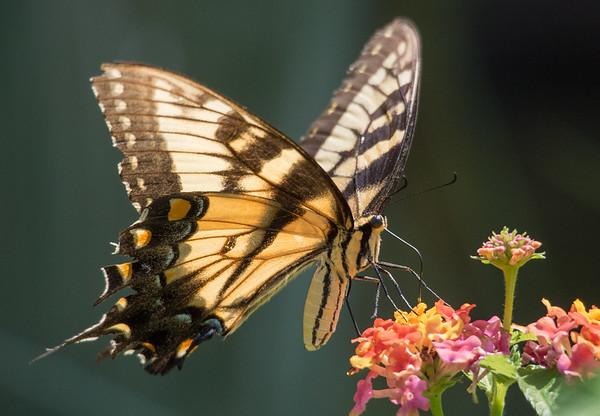Eastern Tiger Swallowtail (Pterourus glaucus)
