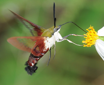 Hemaris thysbe (Hummingbird Clearwing Moth)