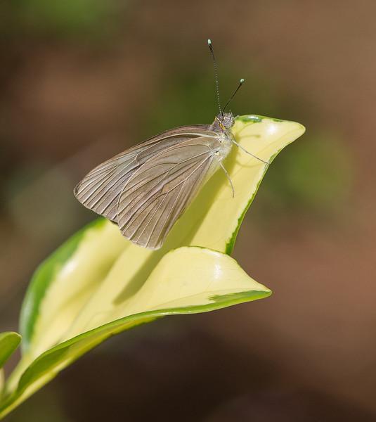 Female Great Southern White (Ascia monuste)