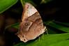 Evening Brown Butterfly (Melanitis constantia) Yapen Island, Papua.