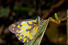 Female Delias aroae (tentative ID) butterfly at Okbap, Star Mountains, Papua, January 2010.