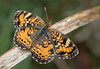 Phaon Crescent (Phyciodes phaon)
