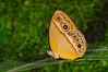 Hewitson's Bush Brown Butterfly (Mycalesis phidon) Yapen Island, Papua.