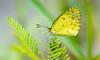 Little Sulphur Butterfly (Eurema lisa)
