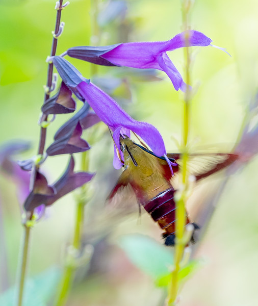 Clearwing Hummingbird Moth Drawing Nectar from Salvia