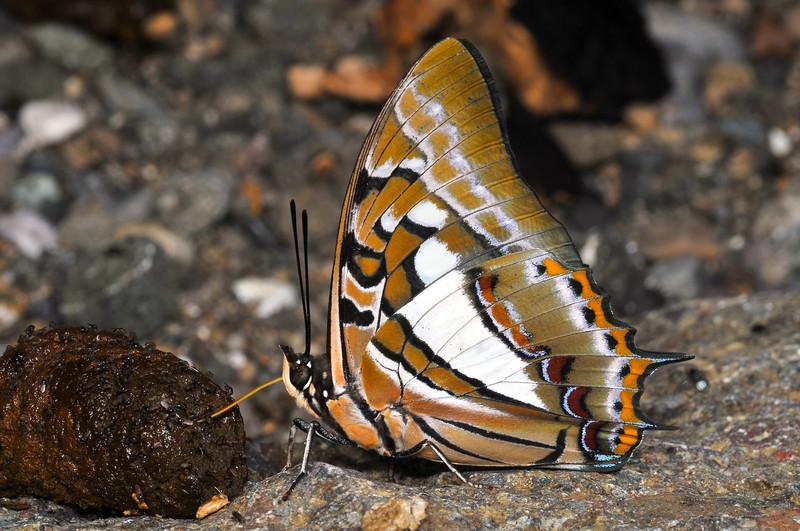 Western Papuan Brush-footed Butterfly (Polyura jupiter jupiter) on Yapen Island, Papua, June 2009.