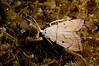 Lepidoptera sp39 003 Okbap-StarMtns-Papua 2010-01