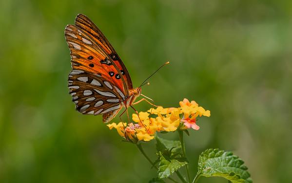 Gulf Fritillary Butterfly on Lantana