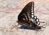 Spicebush Swallowtail Puddling