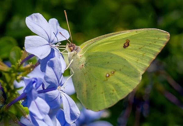 Cloudless Sulfur Butterfly (Phoebis sennae) on Plumbago