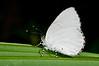 "Lycaenid Butterfly of the genus ""Philiris"", Sentani, Papua. [Philiris sp01 001 Sentani-Papua 2009-07]"