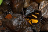 Lepidoptera sp33 005 Okbap-StarMtns- Papua 2010-01