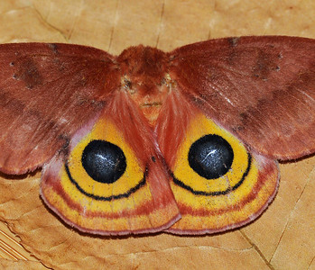 Automeris i0 (Io Moth)