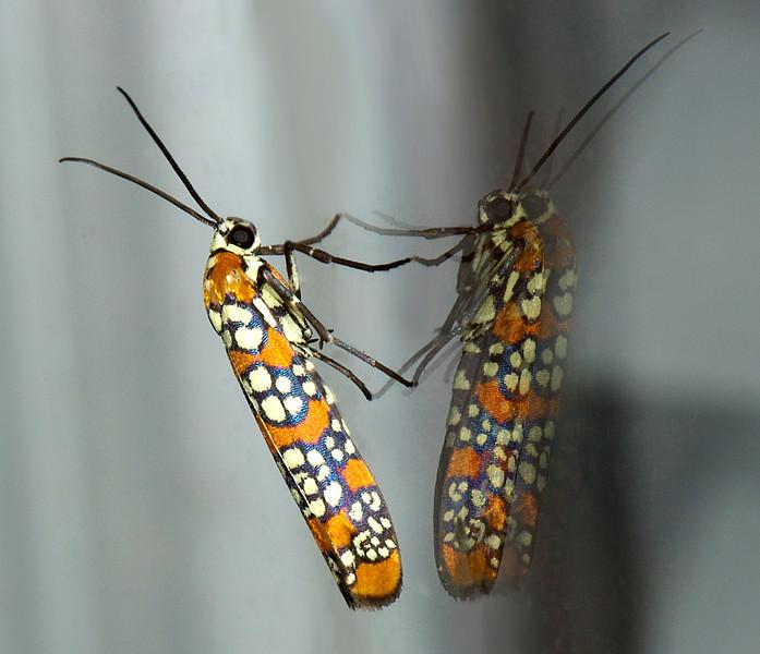 Atteva punctella (Ailanthus Webworm Moth)