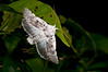 Lepidoptera sp37 001 Okbap-StarMtns-Papua 2010-01